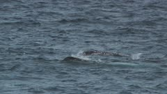 Pod Of Narwhals Swim On Surface