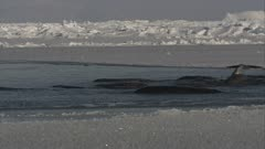 Pod Of Narwhals Gather In Channel In Ice