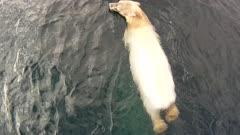Aerial Polar Bear Swimming In Open Water