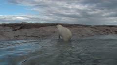 Aerial Polar Bear Swimming Open Water & Exiting Onto Rock Island