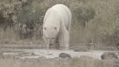Mother Polar Bear & Twin Cubs Walk Down River Bed