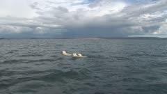 Mother Polar Bear Swim Open Water
