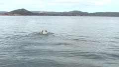 Lone Polar Bear Swims, Dives Underwater, Surfaces & Repeats