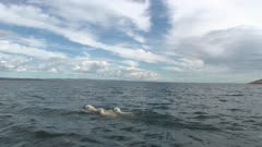 Mother Polar Bear  & Two Cubs Swimming in open water