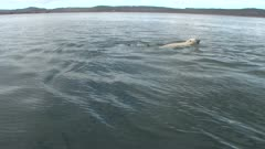Lone Male Polar Bear Swimming