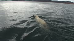 Lone Male Polar Bear Swimming & Diving