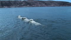 Mother Polar Bear & Twin Cubs Swimming in Open Water