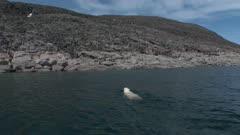 Lone Male Polar Bear Swims & Exits Onto Rock Island