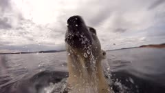 Above Water & Underwater Polar Bear Dives & Swims