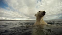 Underwater & Above Water Male Polar Bear Swimming & Diving
