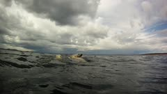 Mother Polar Bear & Twin Cubs Swimming in Rough Open Water