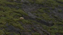 Polar Bear Climbing Steep Cliff
