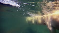 Underwater Mother Polar Bear & Twin Cubs Swimming