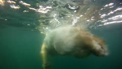 Underwater Diving & Swimming Lone Polar Bear Open Water