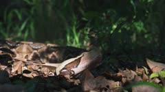 West African Gaboon Adder in forest