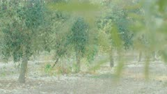 Olive trees in an olive plantation
