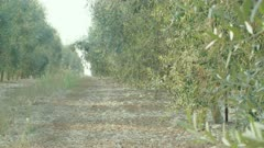 Olive harvest in an olive plantation