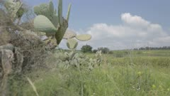 Tracking shot of Sabra cactus with green hills in the background
