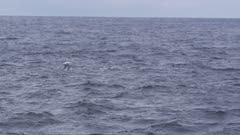 WANDERING ALBATROSS flying over open sea.Distant shot