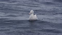WANDERING ALBATROSS floating on open ocean