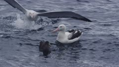 WANDERING ALBATROSS. One landing next another in open water