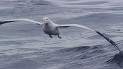 WANDERING ALBATROSS. One landing in open water.Close up