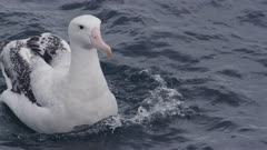 WANDERING ALBATROSS. Floating in open water.Close up