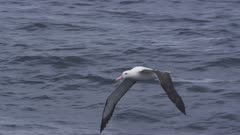 WANDERING ALBATROSS. Flying in open water. Medium shot