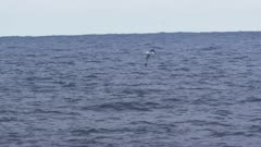 WANDERING ALBATROSS. Flying in open water. Distant shot