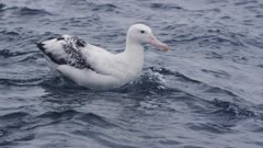WANDERING ALBATROSS. Floating in open water. Close shot