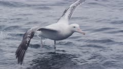 WANDERING ALBATROSS. Landing in open water. Close shot