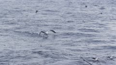 WANDERING ALBATROSS. Taking off in open water.