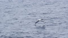 WANDERING ALBATROSS. Gliding over open ocean and then landing on water. Distant shot