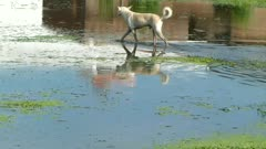 Street dog is in a small pond in search of something to eat.