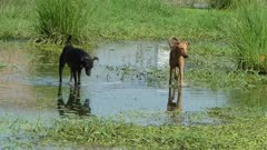Street dogs are playing togather in a marshy pond.
