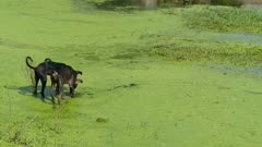 Street Dogs entering in marshland stagnant water to play with eachother.