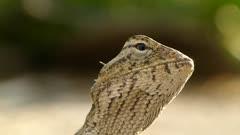 Head and Eye movements of Oriental Garden Lizard, Eastern Garden Lizard  or Changeable Lizard (Calotes Versicolor ).