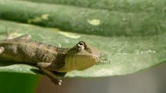 Head and Eye movements of Oriental Garden Lizard, Eastern Garden Lizard  or Changeable Lizard (Calotes Versicolor ) on the leaf of dieffenbachia plant.