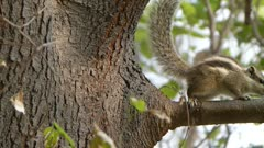 Indian palm squirrel ( Funambulus Palmarum ) also called Three-Striped Palm Squirrel is came on the Mulberry branch in search of food, watching curiously here and there and go back on trunk.
