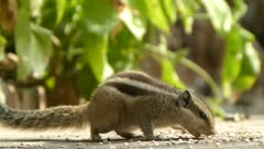 Indian Palm Squirrel ( Funambulus Palmarum ) also called the three-striped palm squirrel is eating grains on ground. This species is, of Rodent in the Sciuridae family. This arboreal rodent is found in all over India and Sri Lanka, It feeds on nuts and fruits.