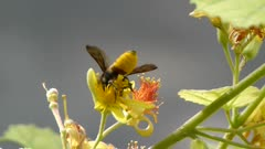 Honey BEE Gathering Nectar and pollens from the flowers of Phalsa or Falsa (Grewia asiatica). A back view