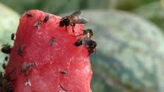 Flies feeding on a piece of watermelon