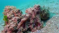 coconut octopus on rock 4K
