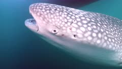 Whale shark swims across 4K