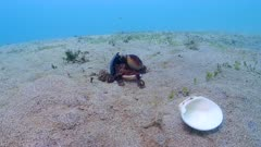 Coconut Octopus Collects Shell 4K ProRes