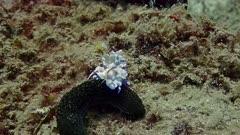 harlequin shrimp drags leg away PR