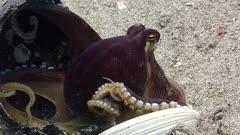 octopus hides in coconut PR