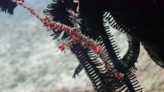 ornate ghostpipefish juvenille PR