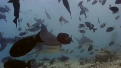 Tiger shark collision ProRes