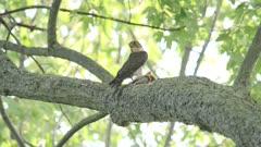 Merlin (falcon) Falco columbarius with kill